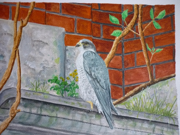 Peregrine on Belper Mill
